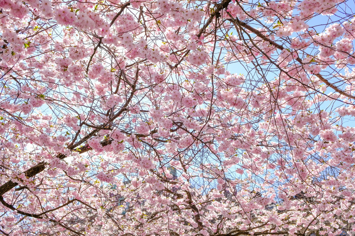 cherry blossoms   Stockholm in 48 Hours • The Petite Wanderess